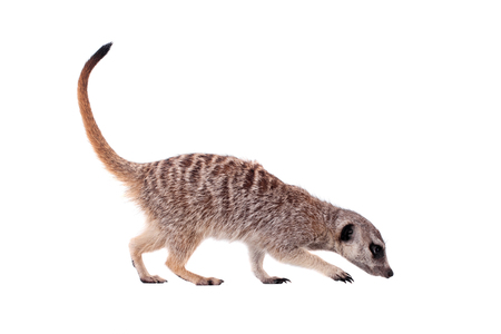 The meerkat or suricate on white