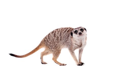 The meerkat or suricate on white