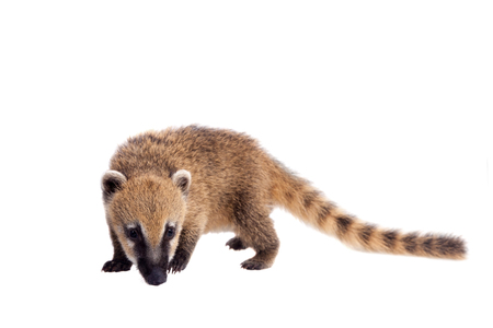 South American coati, Nasua nasua, baby on white