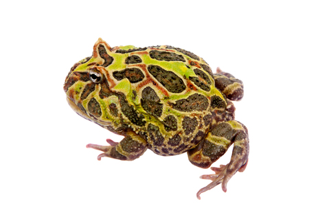 The Argentine horned frog isolated on white Stock Photo