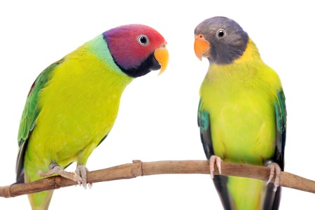 Plum-headed parakeets on white