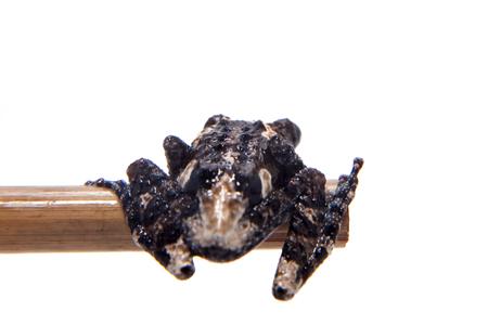 pied: Vietnam mossy frogling, Theloderma vienamense, on white