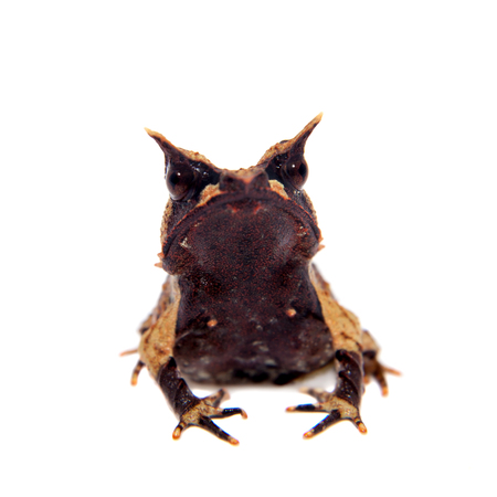 tiny frog: The long-nosed horned frog on white Stock Photo