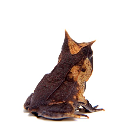 The long-nosed horned frog on white Stock Photo