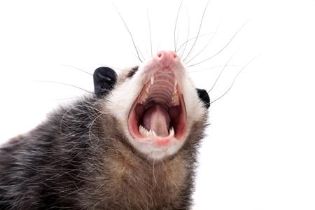opossum: The Virginia opossum, Didelphis virginiana, on white