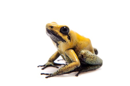 dendrobates: Black-legged poison frog on white