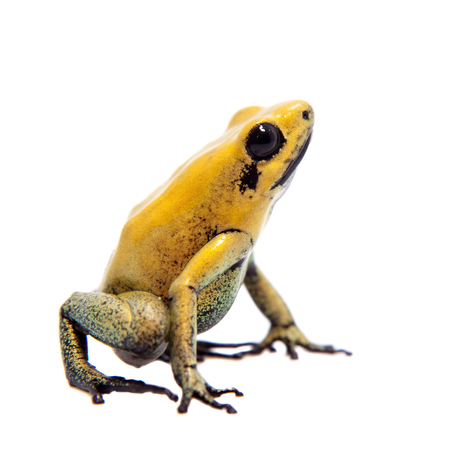 Black-legged poison frog on white