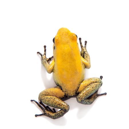 Black-legged poison frog on white