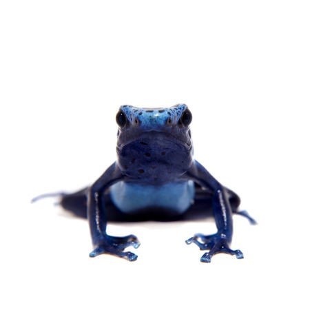 dendrobates: Blue Poison dart frog, Dendrobates tinctorius Azureus, on white Stock Photo