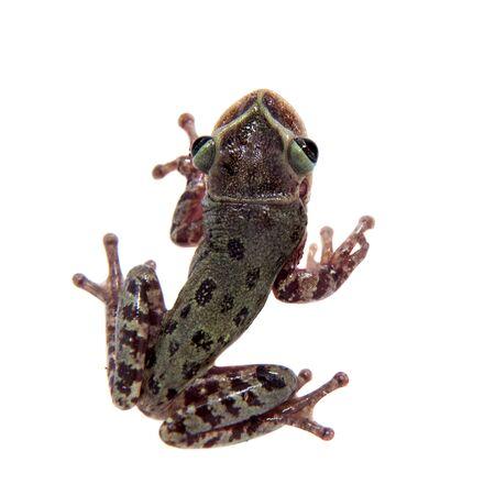 The shovel-headed tree frog, triprion petasatus, on white Stock Photo