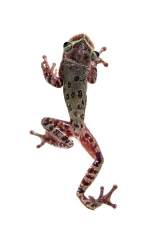 arboreal frog: The shovel-headed tree frog, triprion petasatus, on white Stock Photo