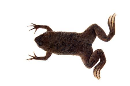 Carvalhos Surinam toad on white
