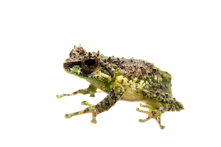 arboreal frog: The tiny bubble-nest frog, Gracixalus supercornutus, on white