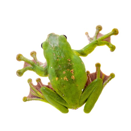 Giant Dennys whipping frog, Rhacophorus dennysi, isolated on white background Stock Photo