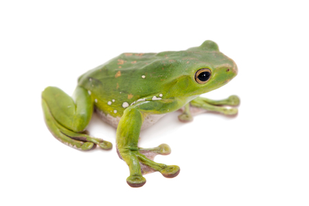 Giant Denny's whipping frog, Rhacophorus dennysi, isolated on white background