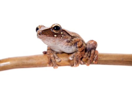 Orlovs flying frog, Rhacophorus orlovi, isolated on white background