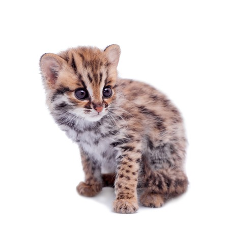 The asian leopard cat on white Stock Photo