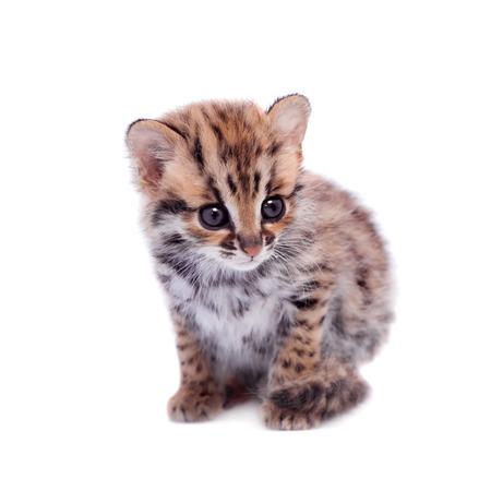 prionailurus: The asian leopard cat on white Stock Photo