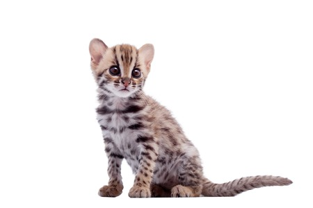 The asian leopard cat on white Banque d'images