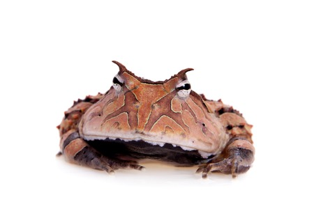 The Surinam horned frog isolated on white