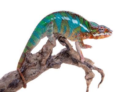 The panther chameleon, Furcifer pardalis on white Imagens - 83651815