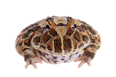 Cranwells horned frog isolated on white Stock Photo