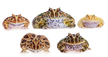 Cranwells horned frogs set on white Stock Photo