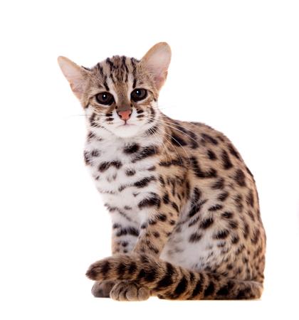El gato de leopardo asiático en blanco Foto de archivo