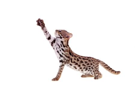 흰색에 아시아 표범 고양이