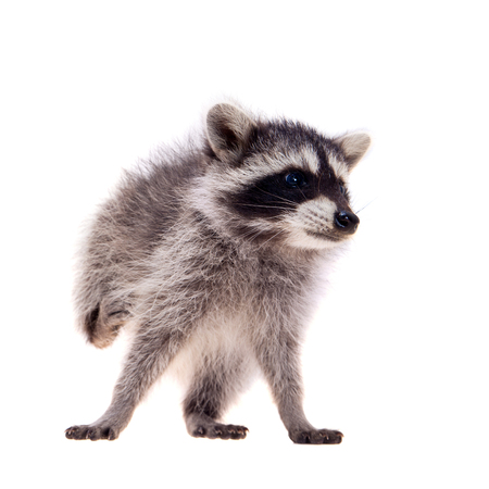 scavenging: Baby raccoon on white background