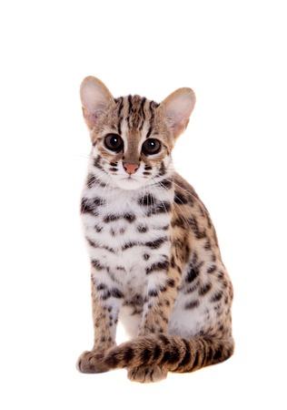 studio zoo: The asian leopard cat on white Stock Photo