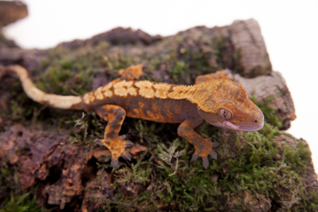 New Caledonian crested gecko on white Stock Photo