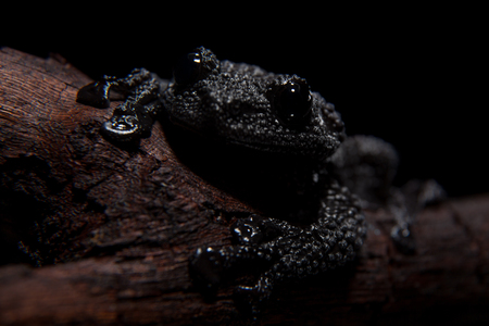 Theloderma ryabovi, rare spieces of frog on black