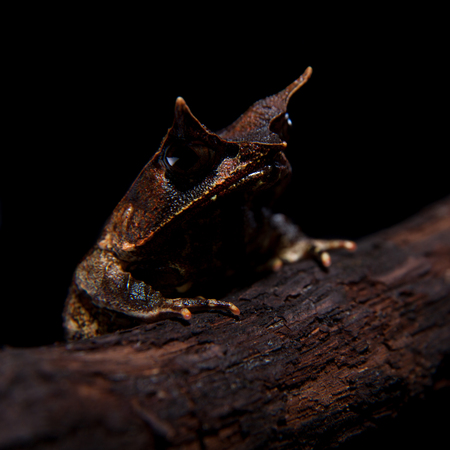 The long-nosed horned frog on black Stock Photo