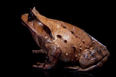Annam spadefoot toad on black