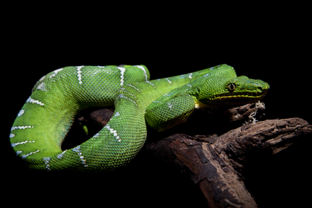 Emerald tree boa on black Stock Photo