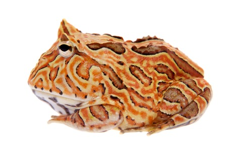 The Fantasy horned frog isolated on white Stock Photo