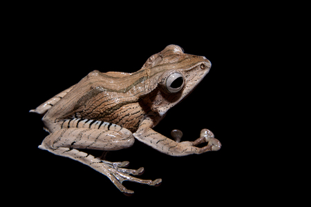 Borneo eared frog on black background
