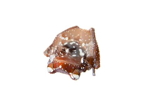 Cinnamon frog, Nictixalus pictus, on white Stock Photo