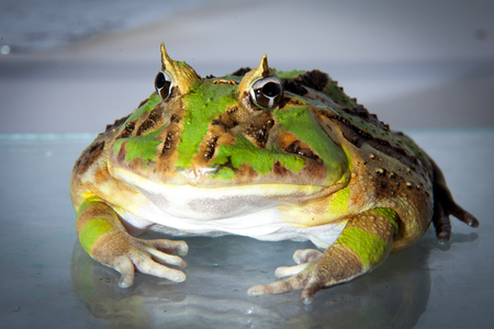 The Brazilian horned frog isolated on white Banco de Imagens