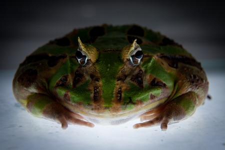 The Brazilian horned frog Stock Photo