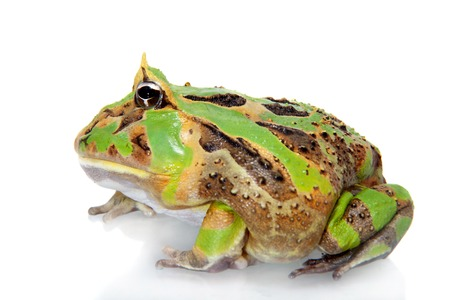 The Brazilian horned frog isolated on white Stock Photo