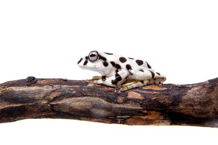 Annam flying frog, Rhacophorus annamensis, on white