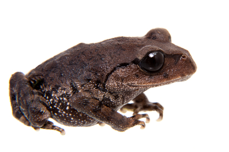 Kakhien Hills spadefoot toad on white