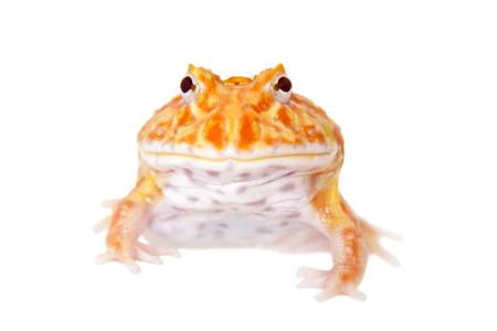 Cranwells horned frog isolated on white Banco de Imagens