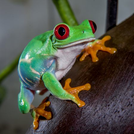Beautiful red eyed tree frog