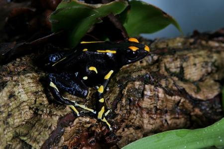Alanis dyeing poison dart frog, Dendrobates tinctorius