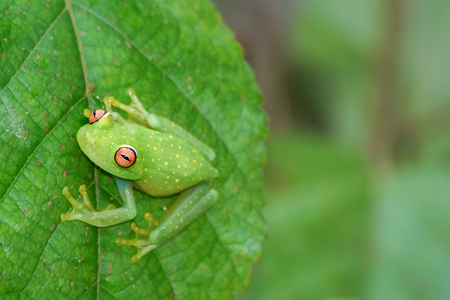 Glass frog on leaf