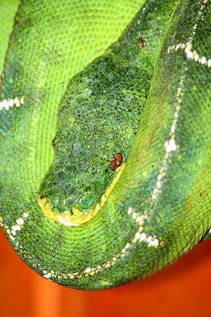 Amazon basin emerald tree boa