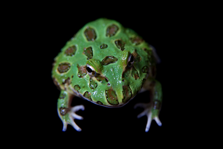 The chachoan horned frog isolated on black Banco de Imagens